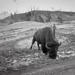 Yes, a real bison